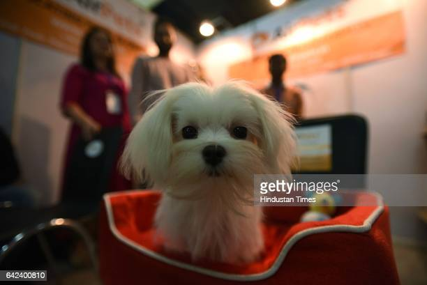 Maltese puppy during the 9th India International Pet Trade Fair on February 17 2017 in Noida India
