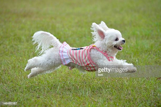 maltese running - maltese dog stock pictures, royalty-free photos & images