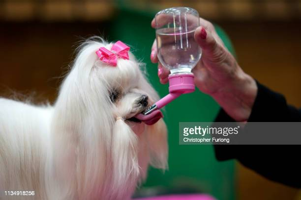 Maltese takes a drink before taking to the show ring on the fourth day of Crufts Dog Show at National Exhibition Centre on March 10 2019 in...