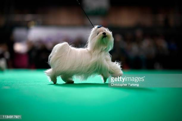 Maltese takes to the show ring on the fourth day of Crufts Dog Show at National Exhibition Centre on March 10 2019 in Birmingham England First held...