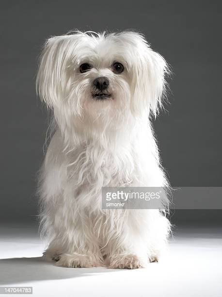 maltese terrier - maltese dog stock pictures, royalty-free photos & images