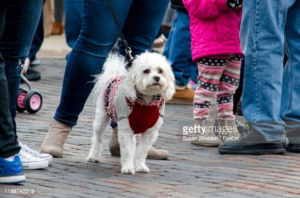 maltese terrier wearing a festive holiday sweater, waits for the parade to start in st joseph mi usa - by sheldon levis fotografías e imágenes de stock