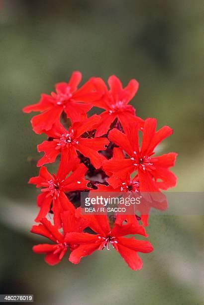 Maltesecross Caryophyllaceae