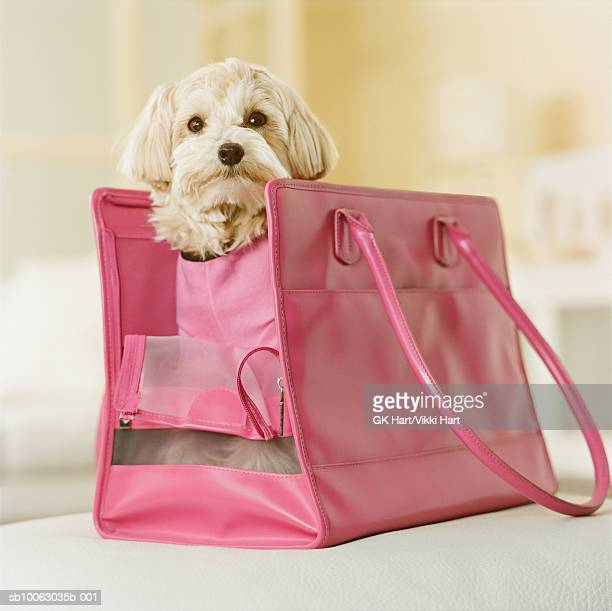 Maltese-Poodle mix breed dog in pink carrier, close-up