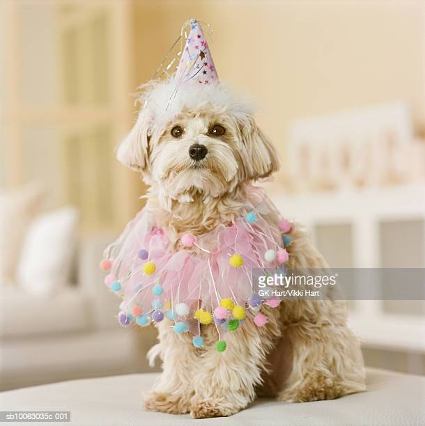 Maltese-Poodle mix breed dog wearing party hat, close-up