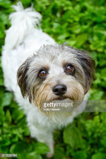maltipoo dog - maltese cross stock photos and pictures