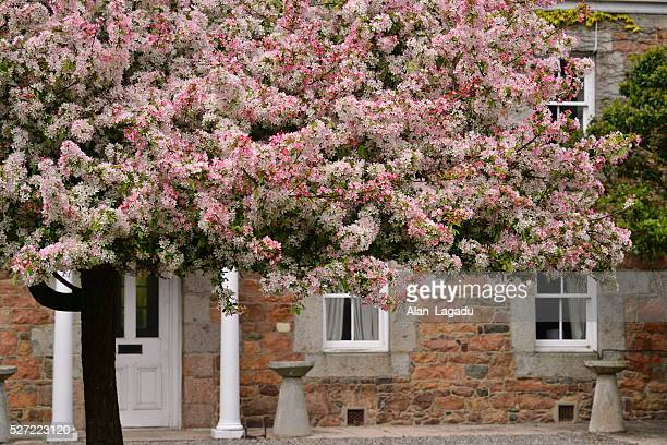 Malus Floribunda, Crab apple tree, Jersey, U.K.