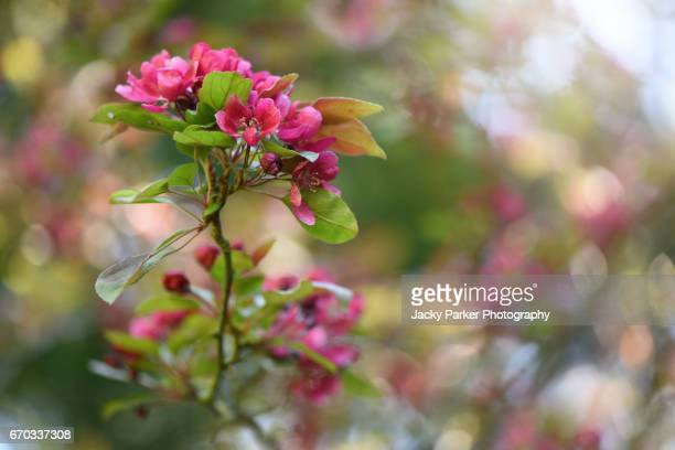 malus × moerlandsii 'profusion', crab apple spring pink blossom - apple blossom tree stock pictures, royalty-free photos & images