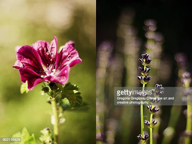 malva and lavender flowers diptych - gregoria gregoriou crowe fine art and creative photography stock-fotos und bilder