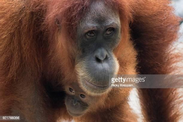 Mama And Baby Orangutan