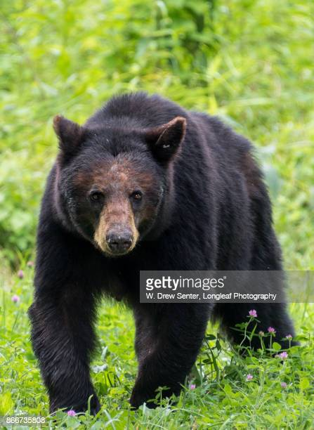 mama bear - mama bear stock photos and pictures