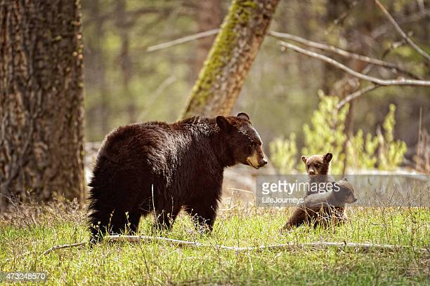 Mama Black Bear and Her Cubs  - Yellowstone National Park