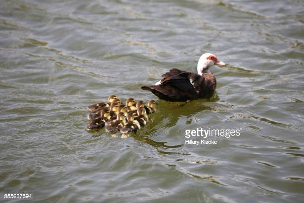 mama duck and babies in the water - ugly duckling stock photos and pictures