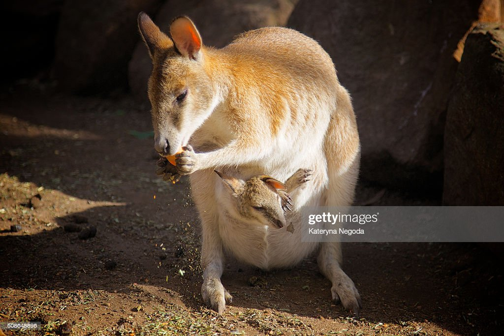Mama kangaroo : Stock Photo