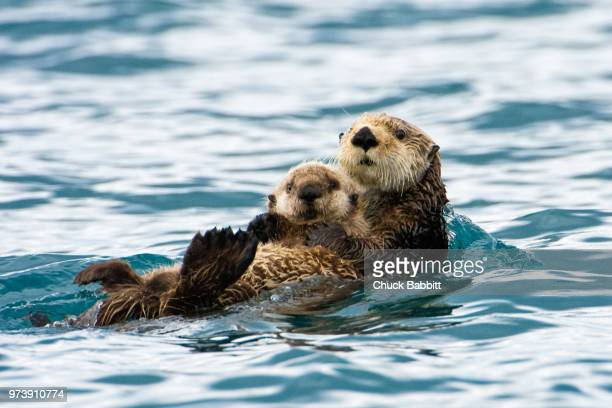 mama - sea otter stock photos and pictures