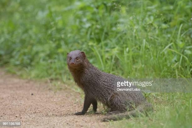 mamals of konkan-indian grey mongoose - mangusta foto e immagini stock