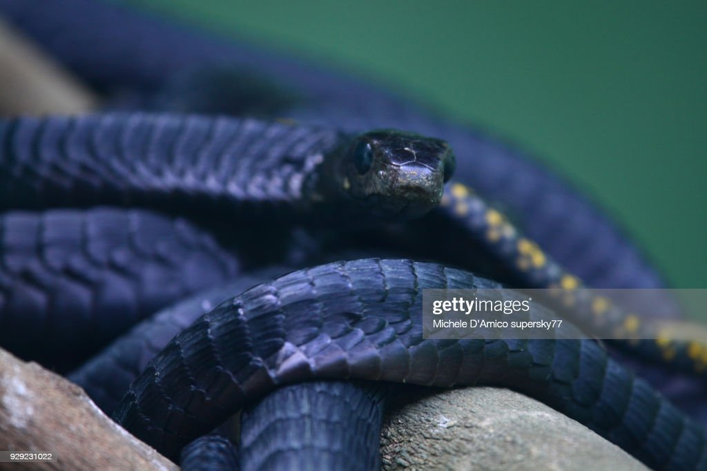 Mamba snakes : Stock Photo