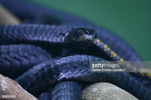 mamba snakes - black mamba stock photos and pictures