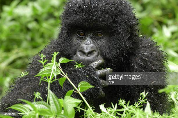 Mambo, a 3 year-old gorilla, plays 24 April 2004 in the Jomba area of the National Park of Virunga in the Democratic Republique of Congo, near the...