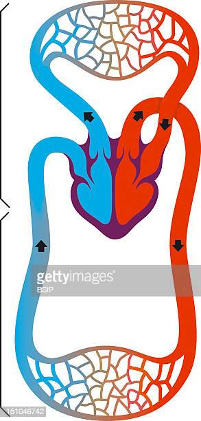 Mammal Blood Circulation Mankind See Image 3543908 For The Blood Circulation Of Amphibians