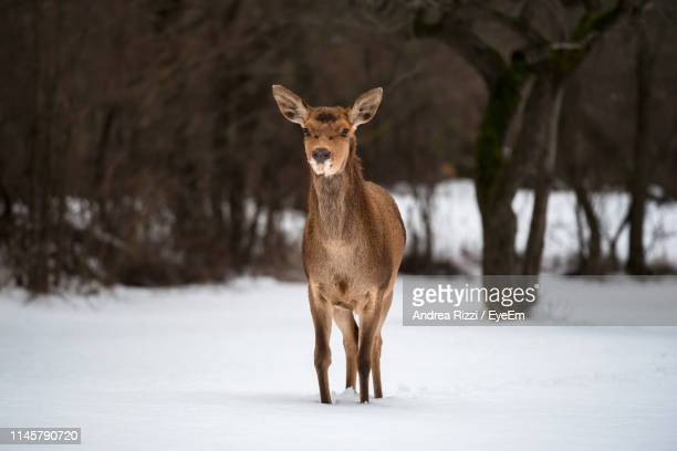 mammal standing on snow covered land - andrea rizzi stock pictures, royalty-free photos & images