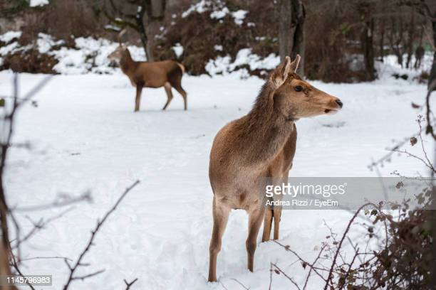 mammals standing on snow covered land - andrea rizzi stock pictures, royalty-free photos & images