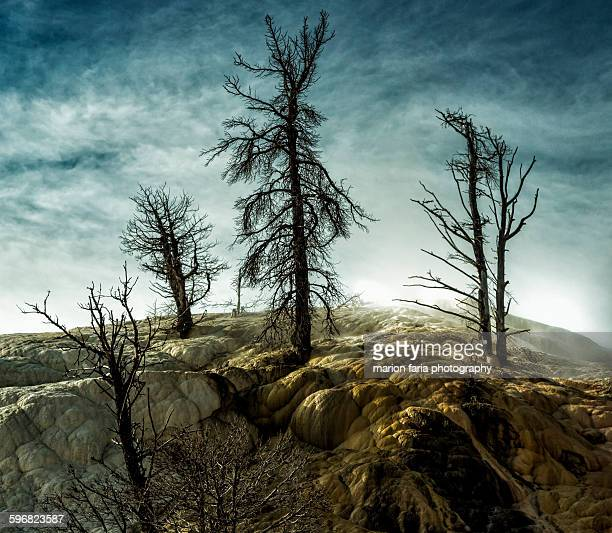 mammoth hot springs - petrified wood stock pictures, royalty-free photos & images