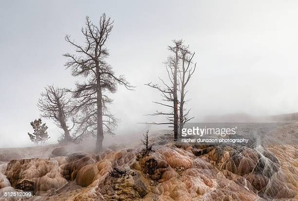 mammoth hot springs trees - caldera stock pictures, royalty-free photos & images