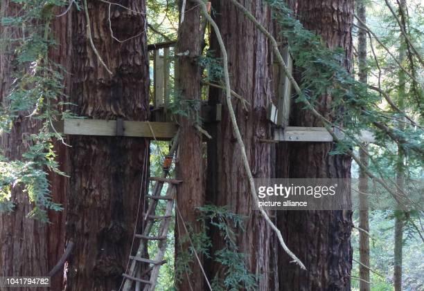 Mammutbäume mit Baumhaus das der Schauspieler Klaus Kinski für seinen Sohn Nikolai baute sind am nahe seines früheren Blockhauses in Langunitas zu...
