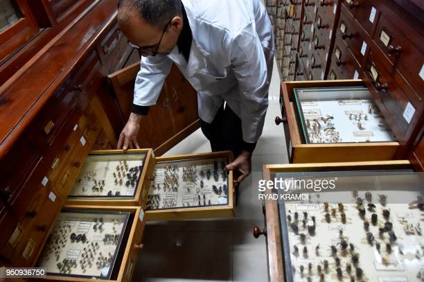 Mamou Mohamed a state engineer at the laboratory of the insectarium at the National Institute of Plants Protection in Algiers organises boxes of...