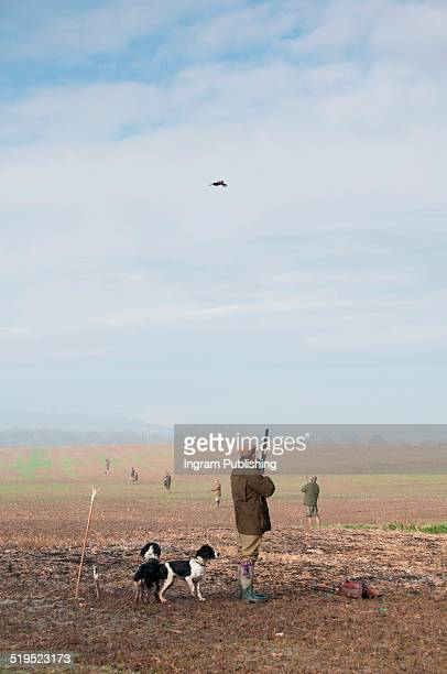 man aiming gun at pheasant while standing by dog - springer spaniel stock photos and pictures