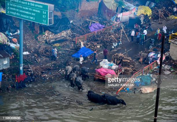 A man along with his buffaloes cross floodwaters near Sangam as the water level of the Ganges and Yamuna rivers rise in Allahabad on September 14 2019