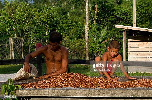 A man and a boy scatter cacao seeds in San Jose de Apartado Peace Community in the Colombian province of Antioquia on October 6 2011 The Peace...