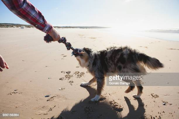 Man and dog playing with rope on beach, cropped