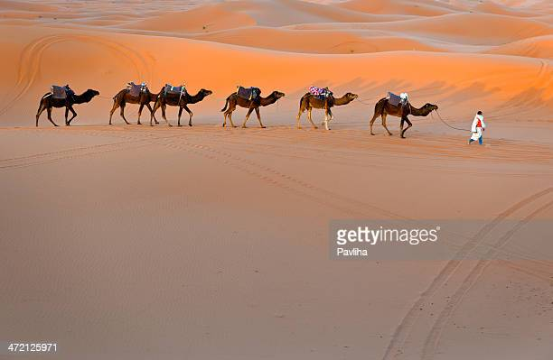 Man and Dromedary Camels Walking in Morocco Desert