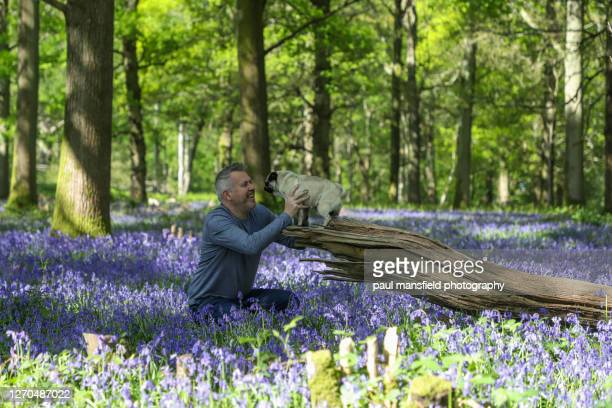 "man and pug in bluebell forest - ""paul mansfield photography"" stock pictures, royalty-free photos & images"
