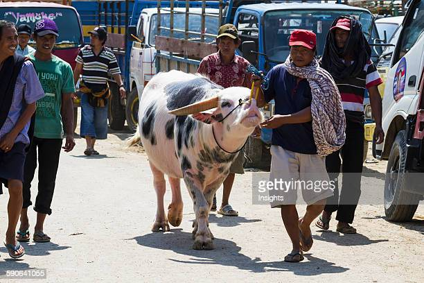 Man and Tedong Bonga water buffalo at the Bolu livestock market Rantepao Toraja Land South Sulawesi Indonesia