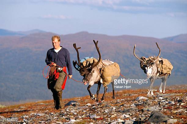 a man and two reindeers in a mountain landscape. - swedish lapland stock photos and pictures