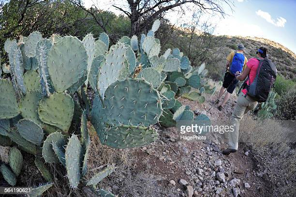 Man and woman backpackers hike next to prickly pear cactus on the Dutchmans Trail in the Superstition Wilderness Area, Tonto National Forest near Phoenix, Arizona November 2011.