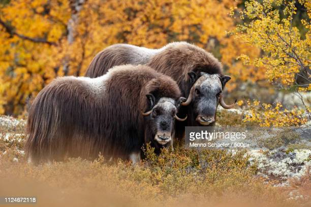 man and woman musk-ox - musk ox stock photos and pictures