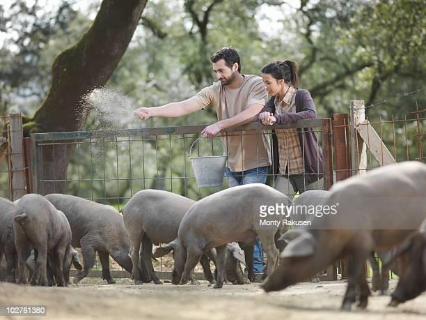 Man and woman on farm feeding pigs