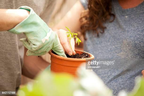 man and woman planting moringa seedling - moringa oleifera stock photos and pictures