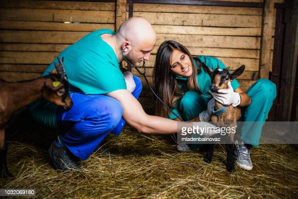 man and woman veterinarians at large goat farm checking goat's health. - agricultural activity stock pictures, royalty-free photos & images