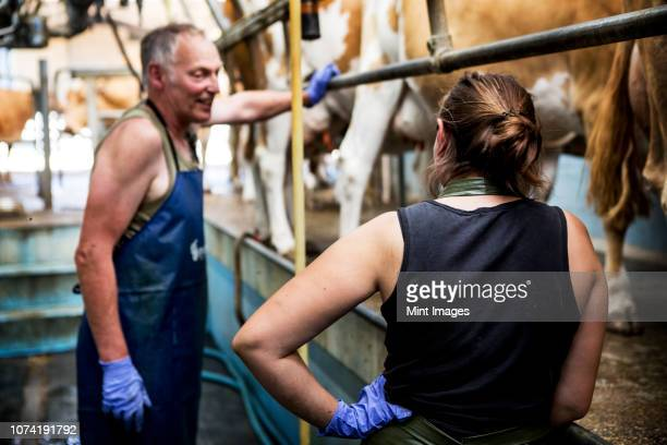 man and young woman wearing aprons standing in a milking shed with guernsey cows. - man milking woman stock photos and pictures