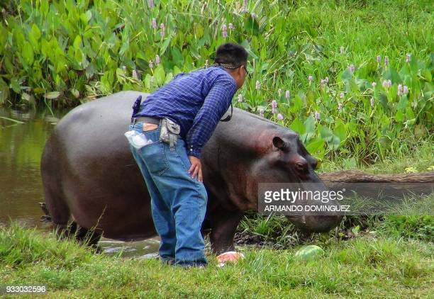 A man approaches a hippopotamus named Tyson by local residents that was found in a stream at Las Choapas locality in Veracruz state Mexico on March...