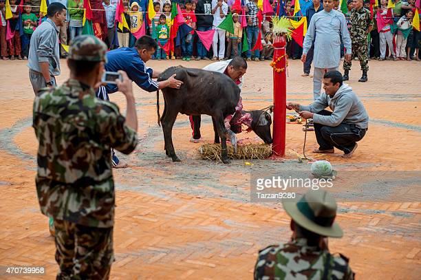 man beheading ふくらはぎでドゥルガー犠牲、ネパール、カトマンズ) - バクタプル ストックフォトと画像