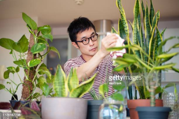 man caring for his indoor plants - houseplant stock pictures, royalty-free photos & images