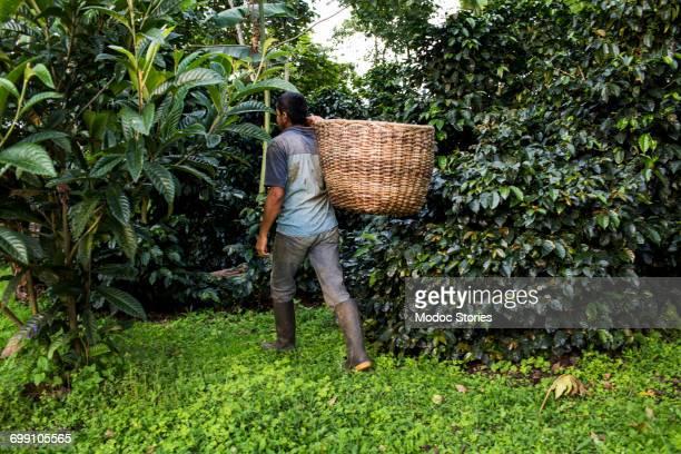 a man carries a basket of freshly harvested coffee beans on a farm in rural colombia. - café colheita imagens e fotografias de stock