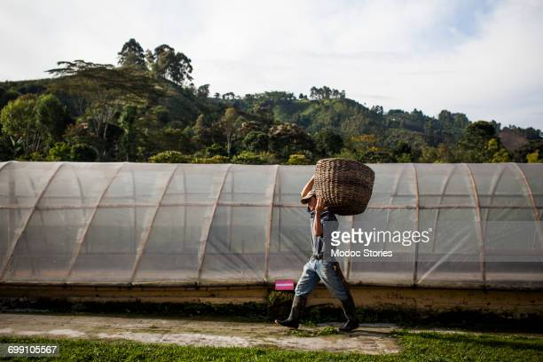 A man carries a basket of freshly picked coffee beans by a greenhouse on a rural farm in Colombia.