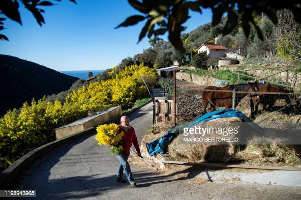 A man carries a bouquet of Mimosa flowers in the village of Seborga northwestern Italy on February 5 2020 Workers in northwestern Italy are rushing...